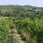 The vines of La Buca
