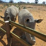Baby rhinos outside my room!
