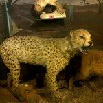 A cheetah?