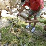 Feeding the iguanas.