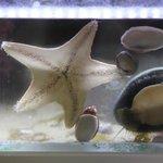 La conchiglia più grande mentre mangia un'alga