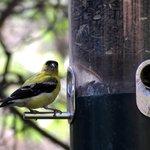 Gold finch at feeder