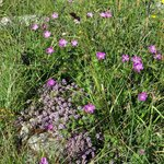 Artic, Alpine, and Mediterranean plants in The Burren