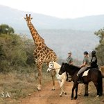 Riding with giraffes