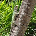 iguana on site