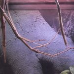 Stick insects at the Newfoundland Insectarium in Deer Lake