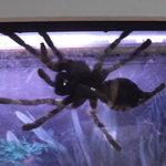 One of the Insectarium's many Tarantulas