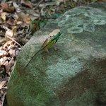 a rare garden lizard