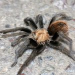 Running tarantula!  Awesome!