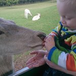 My son feeding the deer