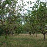 citroenbomen