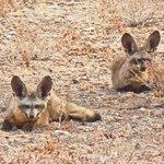 Bat-eared foxes in the desert