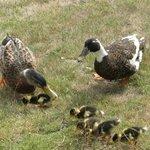 Our resident ducks