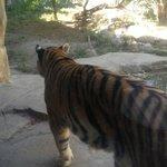 Tiger taking a stroll