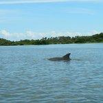 Dolphin near Seahorse Key