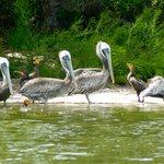Pelican Gagle