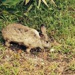 Resident Rabbit
