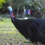 Cassowary sighting