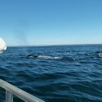 Group of five Humpbacks feeding near the boat