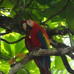 Scarlet macaw - taken a few yards from our cabana