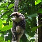 Anteater - taken in Corcovado National Park