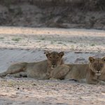 Lions resting on the river bed