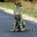 Cheetah waiting for its mate