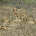 A pride of sleepy lions