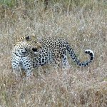 Magnificent leopard...another of the Big Five