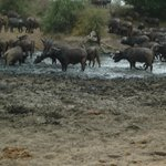 Water buffalo...another of the Big Five