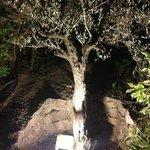 L'olivier de Gabriel...