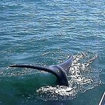 one of several whales who visited our boat