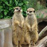 Meerkats - always a great attraction