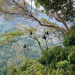 Colobus monkeys in the Usambaras