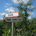 Gala apples in the orchard