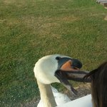 Mr swan coming for his food