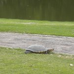 Snapper on 12th Cart Path