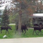 Momma moose and two twins