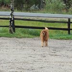 Beauiful golden retriever playing catch