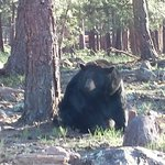 adult bear