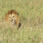 Lion right beside the road in the Serengeti! Taken with only a 3X zoom!