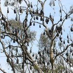 Fruit Bats like pods