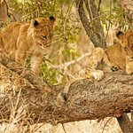 Lion cubs on a low branch of a tree