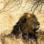 Lion king in repose
