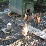 Chickens in garden