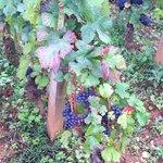 Premier cru grapes