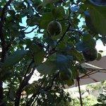 Quince tree in garden