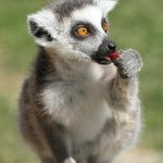 Young Lemur, feeding time at Tropical Wings