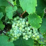 Grapes, it is a vineyard