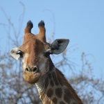 The Giraffe (of course!)